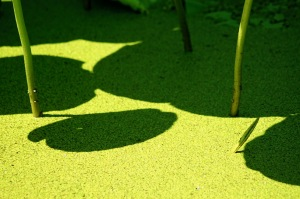 夏のカマキリと影
